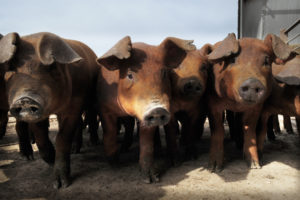 Stakeholder Highlight: K-State and Biosecurity Research Institute Scientists Confront African Swine Fever