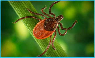 MU Researcher Awarded Grant to Study Treatment for Arthritis Caused by Lyme Disease